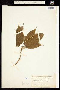 Acer pensylvanicum image