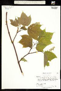 Image of Acer pensylvanicum
