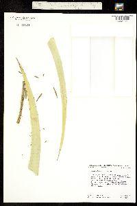 Image of Agave utahensis