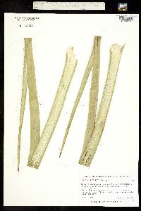 Agave multifilifera image