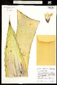 Image of Agave chrysantha