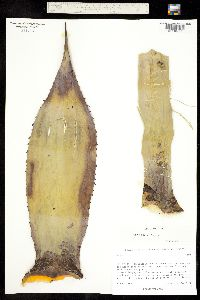 Image of Agave parryi