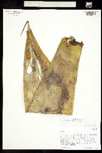 Agave pedunculifera image