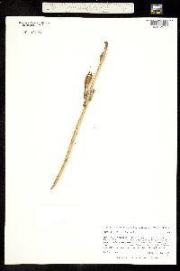 Agave polianthiflora image