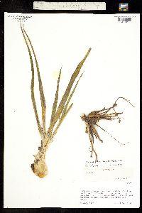 Manfreda singuliflora image
