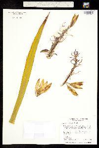 Yucca schidigera image