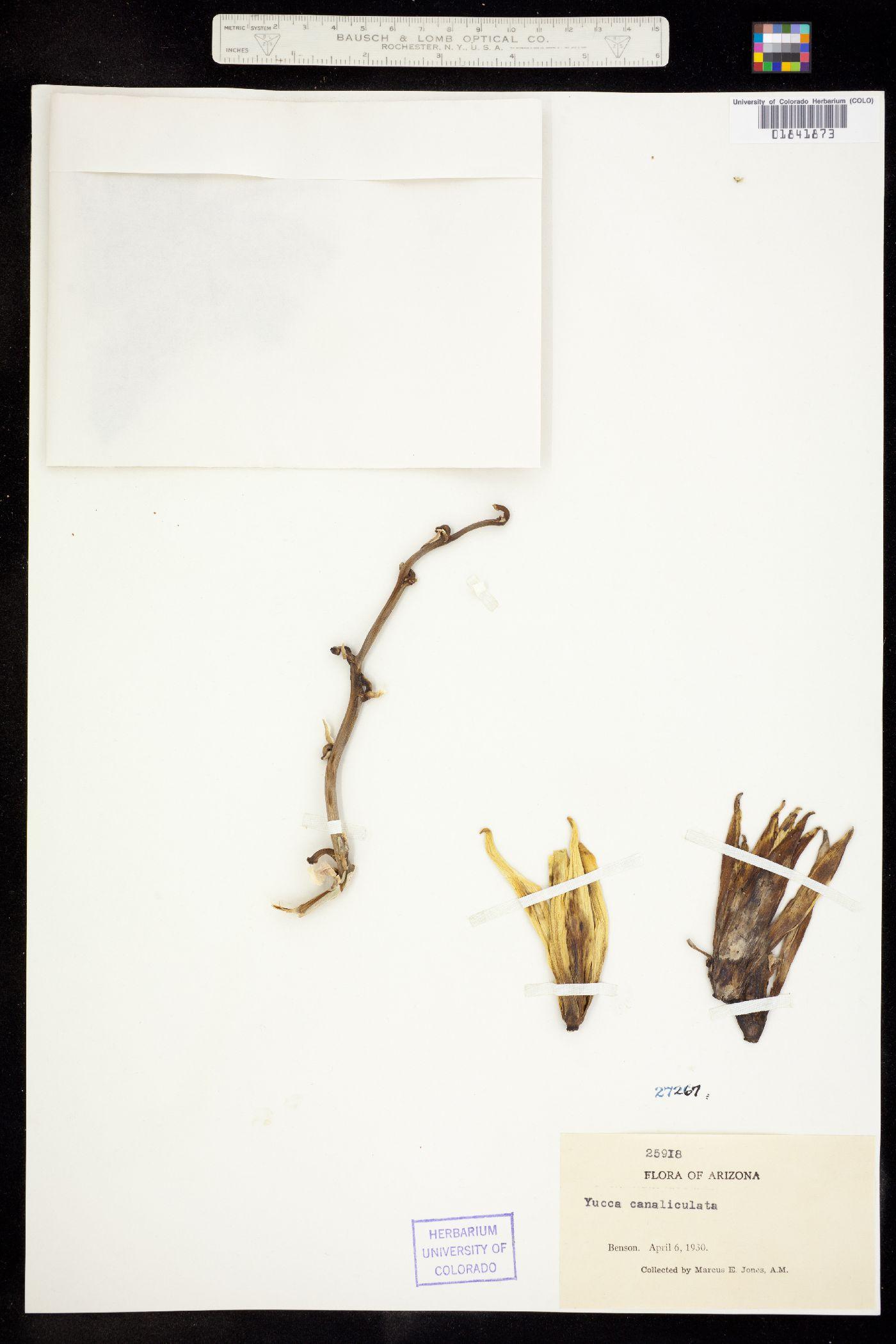 Yucca canaliculata image