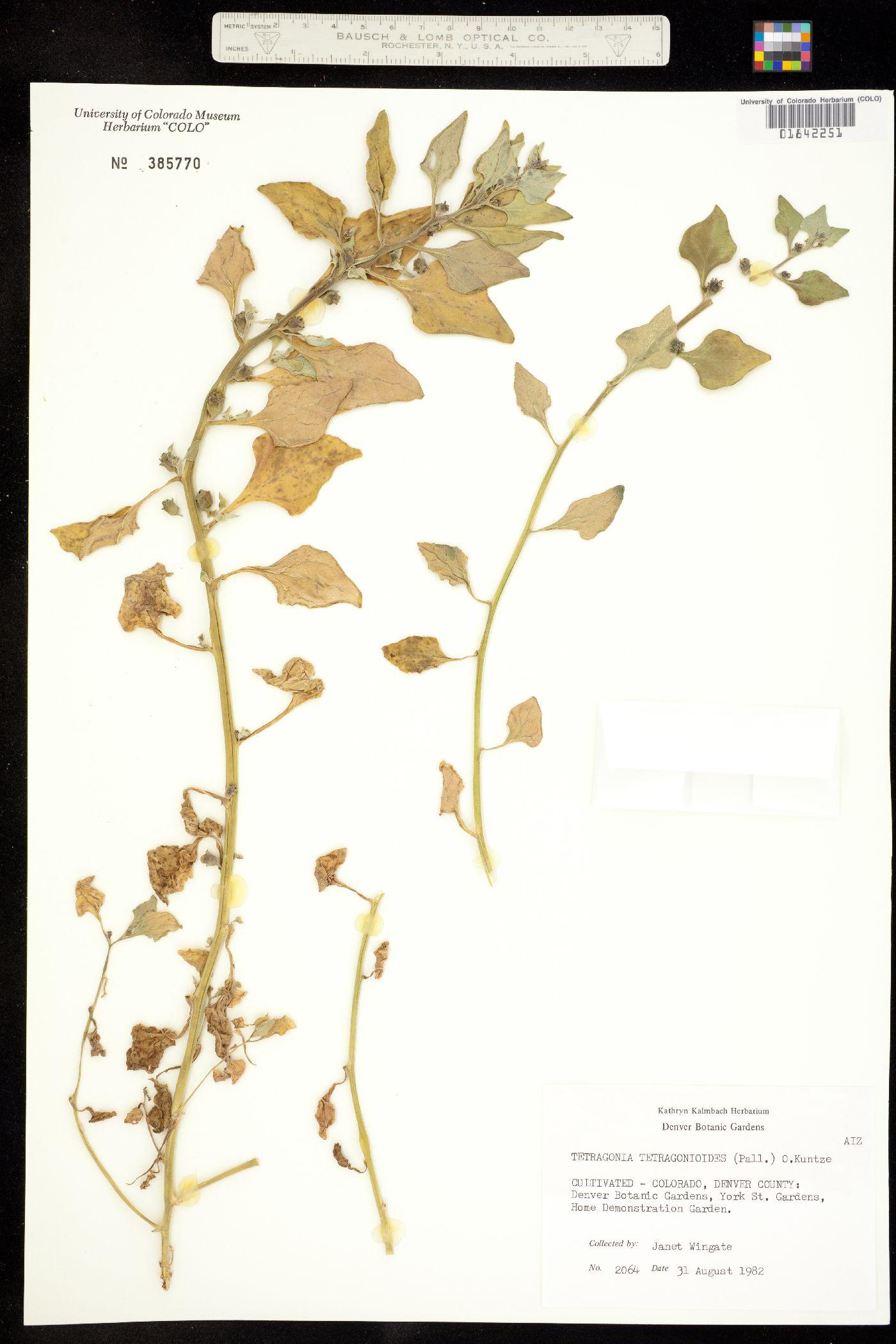 Tetragonia tetragonioides image