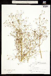 Alisma triviale image