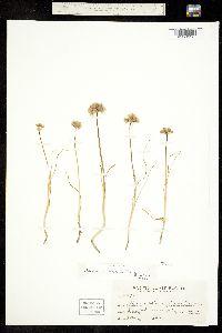 Allium amplectens image