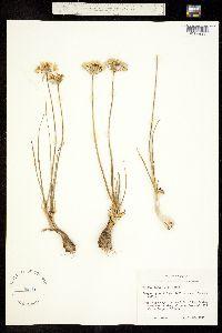 Image of Allium coryi