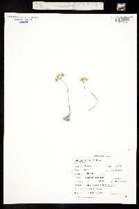 Allium brandegeei image
