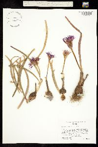Allium falcifolium image