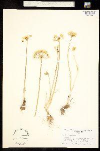 Allium coryi image