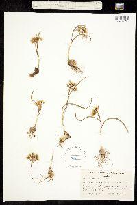 Allium cusickii image