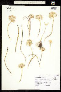 Allium lemmonii image
