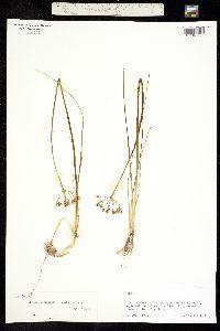 Allium longifolium image