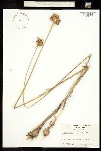 Allium vineale image