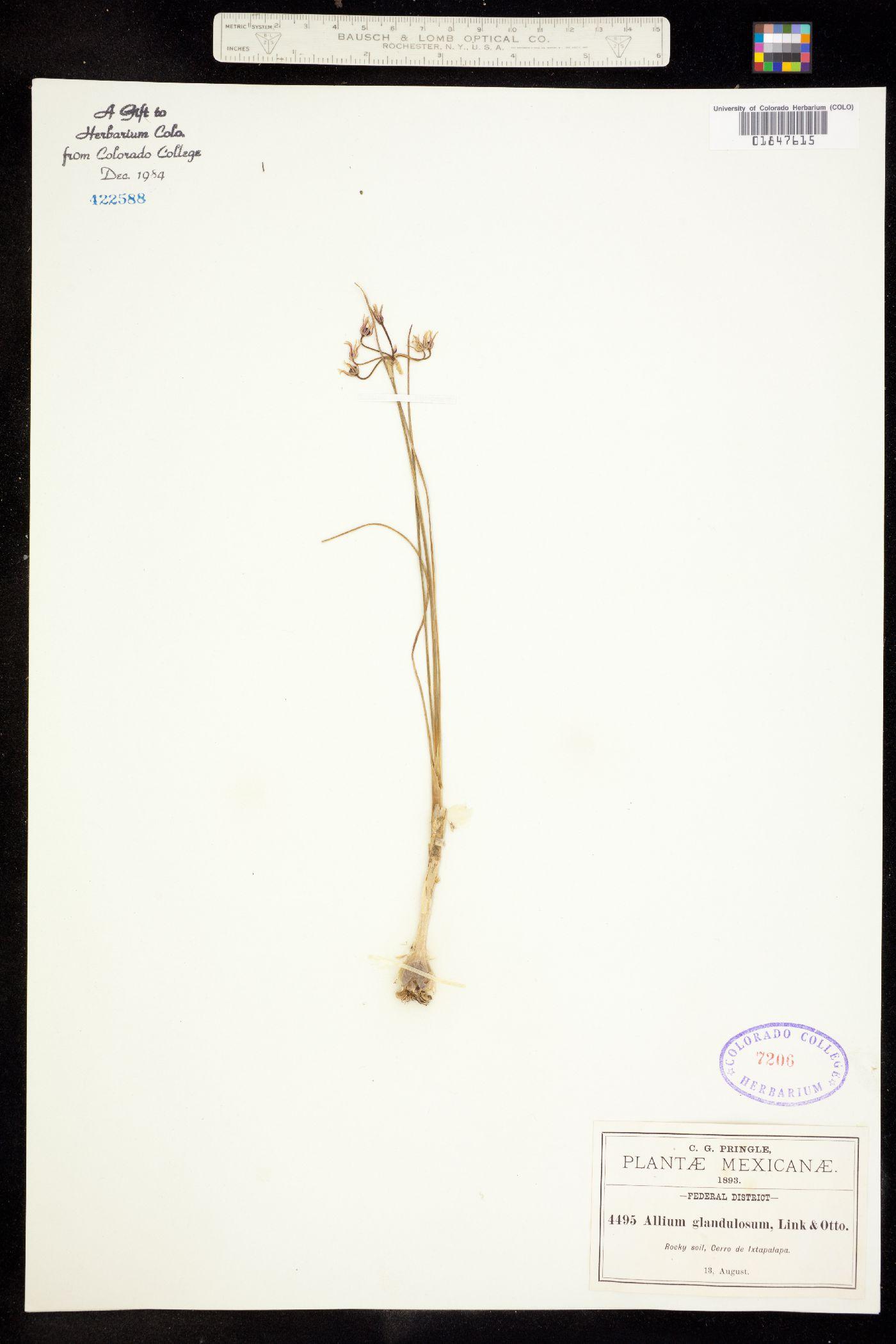 Allium glandulosum image