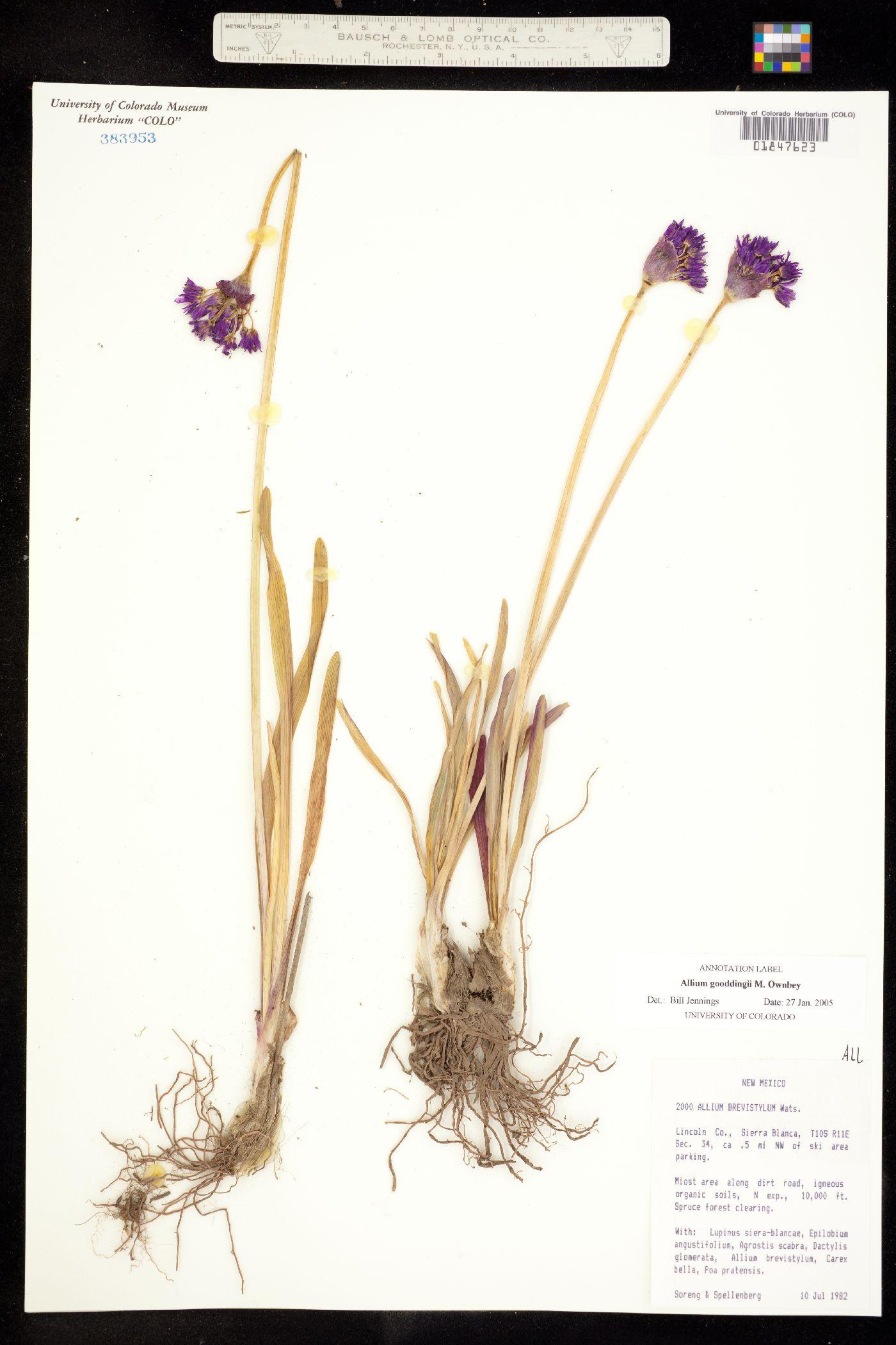 Allium gooddingii image