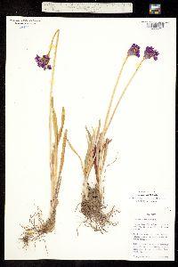 Image of Allium gooddingii