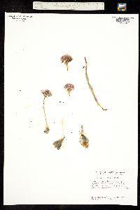 Allium hoffmanii image
