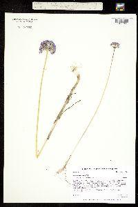 Allium caeruleum image