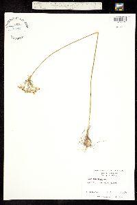 Image of Allium cuthbertii