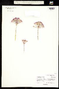 Allium bigelovii image