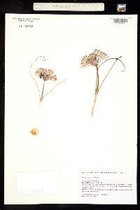 Image of Allium bigelovii