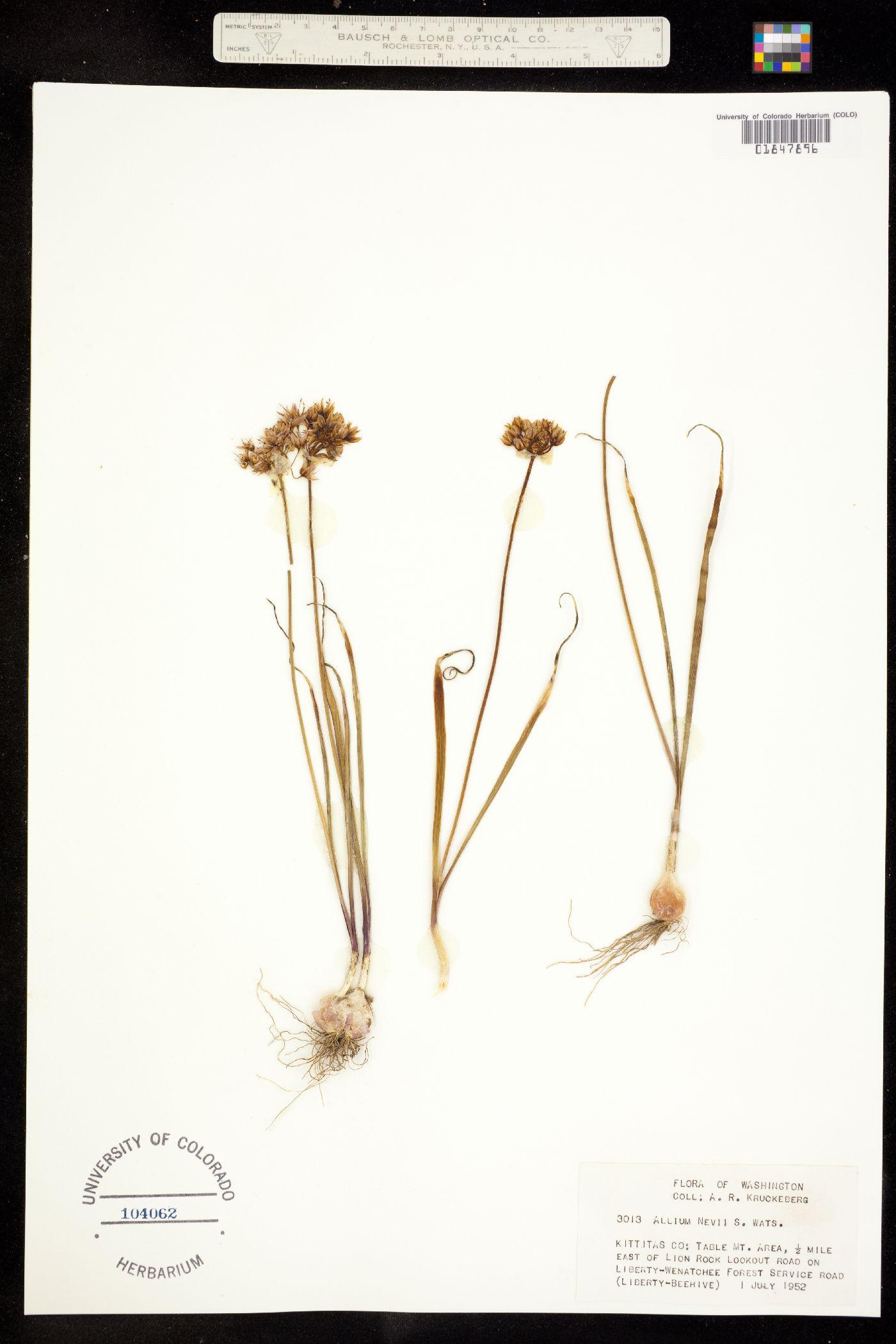 Allium nevii image