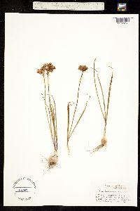 Image of Allium nevii