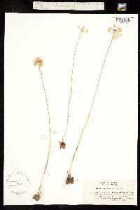 Image of Allium mirabile
