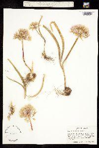Allium modocense image