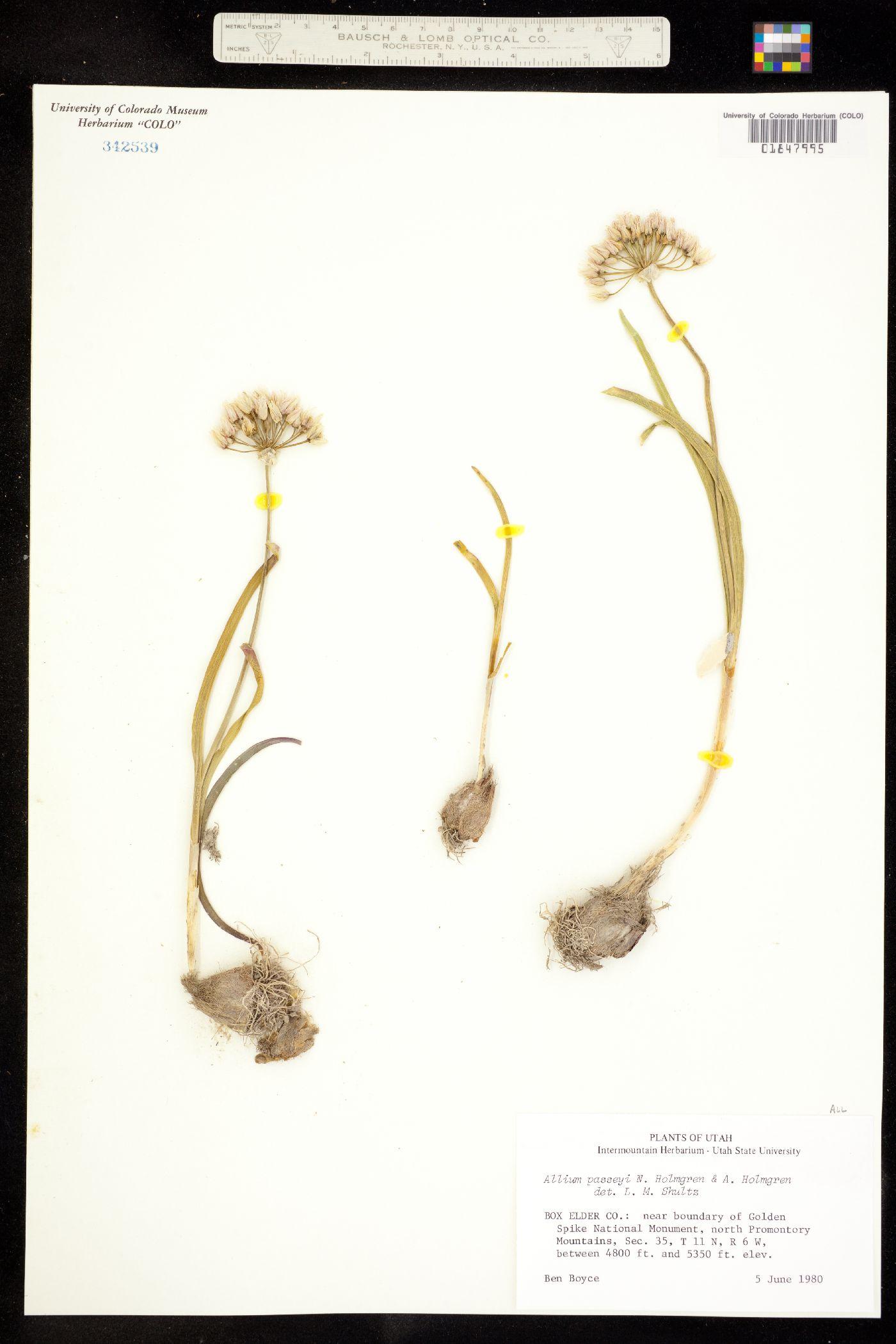 Allium passeyi image