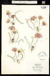 Allium robinsonii image