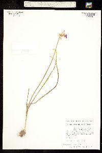 Allium serra image
