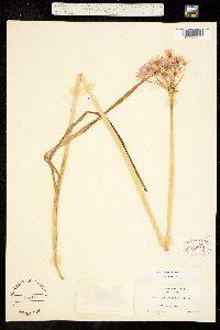 Image of Allium unifolium