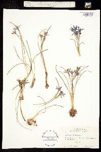 Image of Androstephium coeruleum