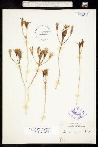 Brodiaea jolonensis image
