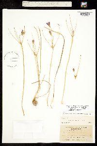 Image of Brodiaea stellaris