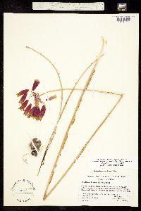 Image of Dichelostemma ida-maia