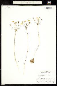 Image of Bloomeria clevelandii
