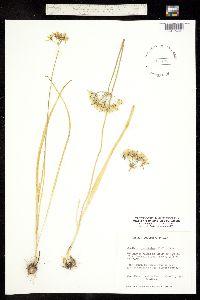 Image of Triteleia hyacinthina