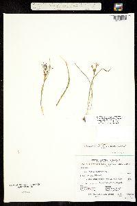Image of Triteleia ixioides