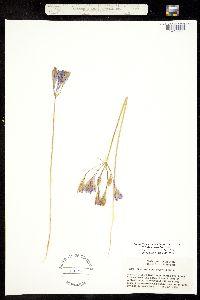 Image of Triteleia laxa