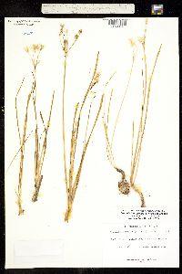 Triteleia lemmoniae image