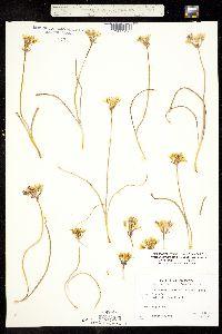 Image of Triteleia lemmoniae