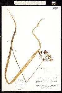 Image of Triteleia lugens