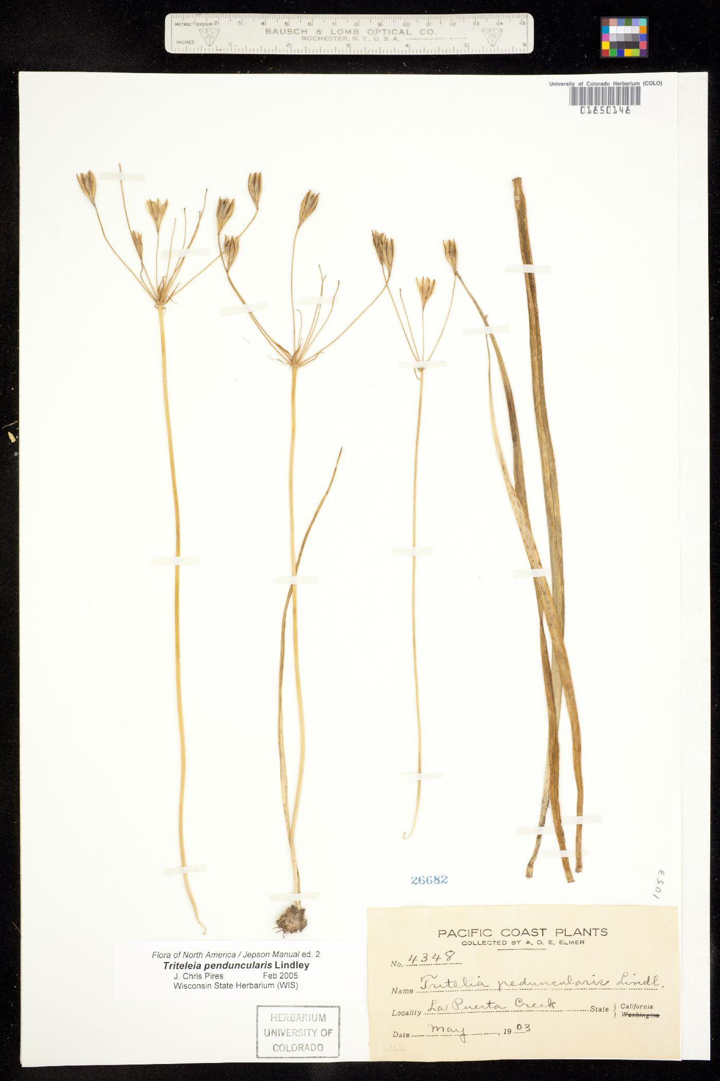 Triteleia peduncularis image